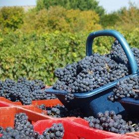 Adopter vos pieds de vigne